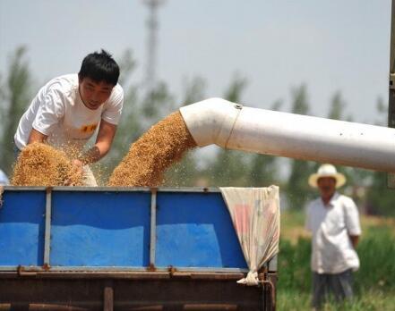 """南皮:小麦正值收获季 """"渤海粮仓""""麦收忙"""