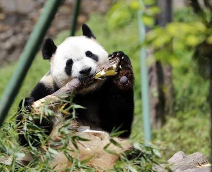 """全球唯一大熊猫三胞胎中的姐姐""""萌萌""""成功交配"""