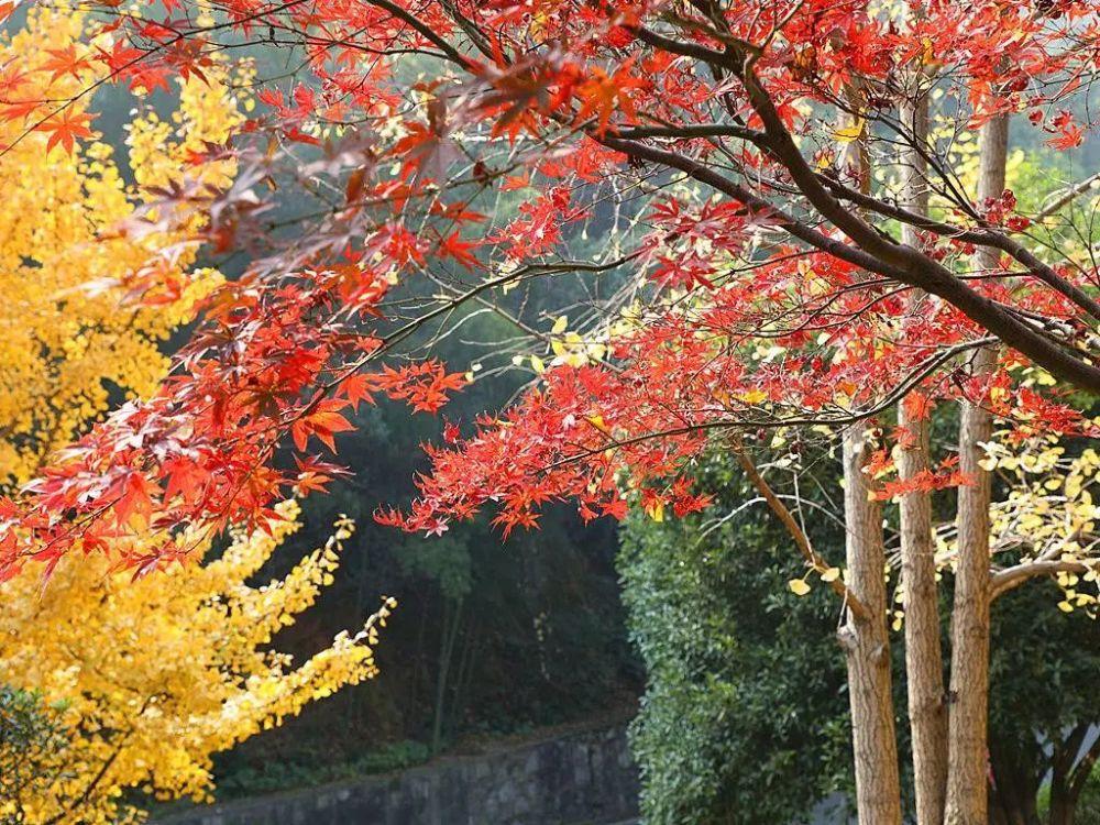 长沙红枫叶进入最佳观赏期 岳麓山枫叶之美已成一绝