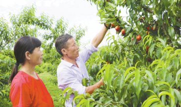 """安徽省庐江县:油桃""""千年红"""" 农家丰收乐"""